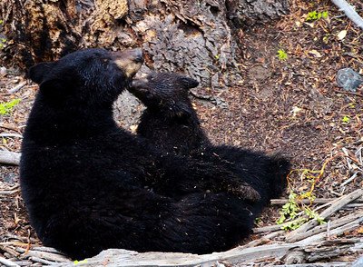 Black bear mother and cub near Calcite Springs overlook.  Mother is thought to be a daughter of the famous Rosie who lived in the area for years.