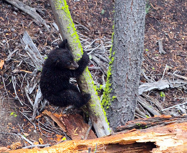 Black Bear cub of the year near Calcite Springs overlook