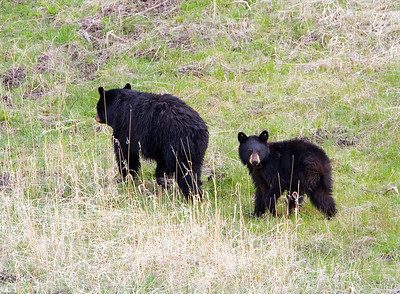 Black Bear sow and yearling cub at elk creek