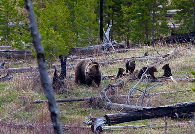 Grizzly sow with four cubs near Mammoth Terraces