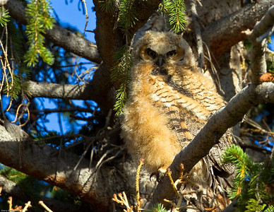 Great Horned owlet in nest between buildings at Mammoth Hot Springs