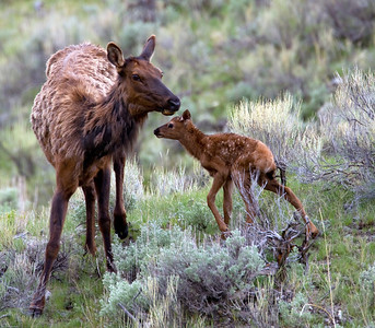 Newborn elk calf and mother near Northeast entrance to Yellowstone