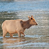 Elk Cow Yellowstone River