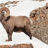 Big Horned Sheep Ram, Lamar Valley