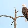Eagle Near Mud Pots