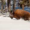 Injured Bison Killed Two Days Later by Wolves, Lamar Valley