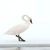 Trumpter Swan Yellowstone River