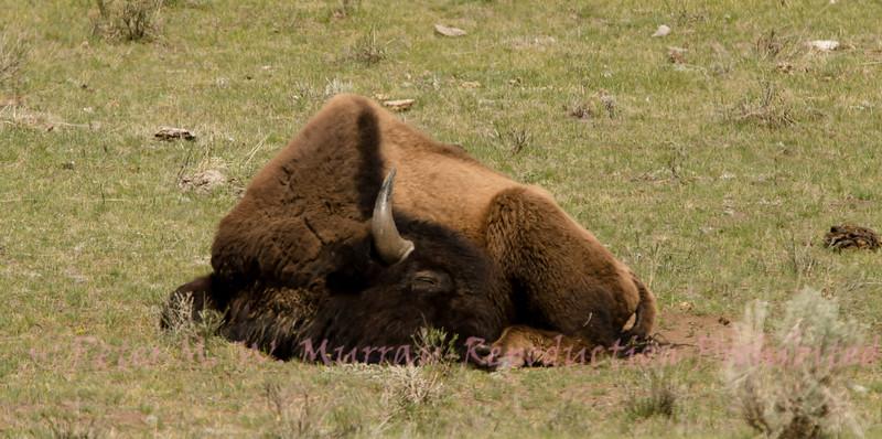 Bison dreams.