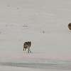 Three Coyotes chase an intruder.