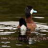 Blue bill and tail up. Ruddy Duck