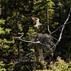 Female Osprey watches as HE brings another stick.