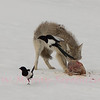 Coyote eyes those pesky Magpies.