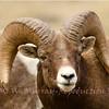 Rocky Mt Big Horn Ram