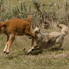 Leaping Bison Calf and Coyote