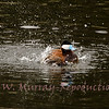 Mid day bath for the Ruddy Duck