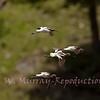 Avocets  gliding