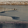 Birds and ice on Blacktail Pond