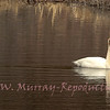 Trumpeter Swan glides along