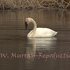 Trumpeter Swan on Floating Island Pond