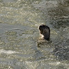 Spy Hopping in the icy Lamar River.