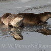 Mother Otter  and kit on the ice.
