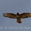 Red-tailed Hawk under wing pattern.
