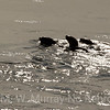 Otters head up river into the morning sunshine.