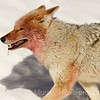 Frozen dribble on the lip. Coyote is heading for a snow bath.