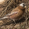 Gray-crowned Rosy-Finch Interior subspecies.