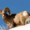 Rocky Mountain Big Horn Sheep above the Confluence.