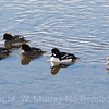 Barrows Goldeneye.   Male with the white patch, and five females.