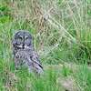 Great Grey Owl checking out the photographers. Watched this owl hunt for about an hour. East of Mammoth Hot Springs.
