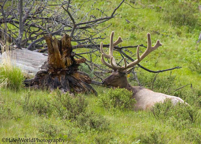 Elk,Cervus canadensis, With A Nice Rack In Full Velvet Along Road Through Lamar Valley