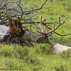 Elk,Cervus canadensis, With A Nice Rack In Full Velvet Along Road Through Lamar Valley