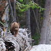 Cinnamon Black Bear Cub Following Mom Across the Street. Dunraven Pass