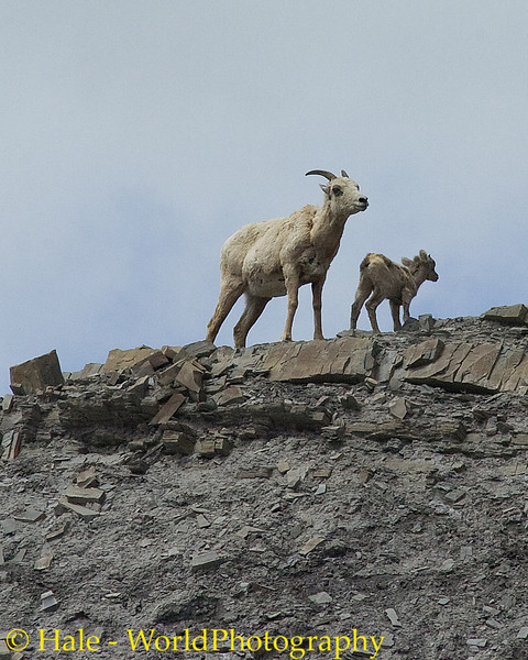 Big Horn Sheep Ewe and Her Baby Standing Guard Atop A Cliff, Yellowstone National Park
