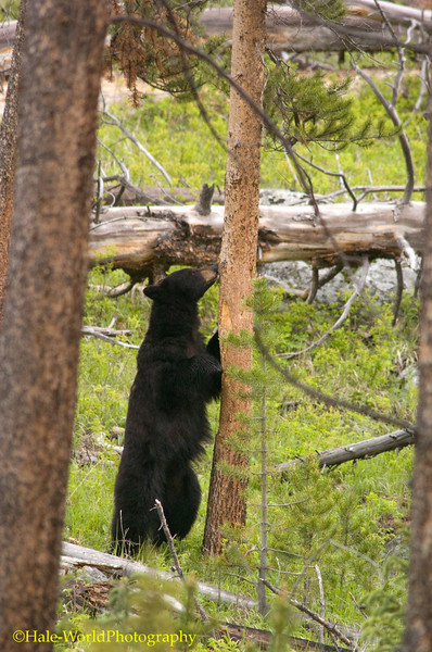 Black Bear, Ursus americanus, Checking Out A Tree For Back Scratching