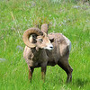 Big Horn. East of Mammoth Hot Springs. Lava Creek Area.