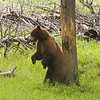 Ursus americanus, Black Bear Boar Completes His Back Rub to Return to His Courting Activity