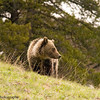 Grizzly Bear, Ursus arctos horribilius, In The Afternoon Rain Overlooking Dunraven Pass Road, Yellowstone National Park
