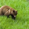 Male Black Bear, Ursus Americanus, On The Prowl Near Petrified Tree