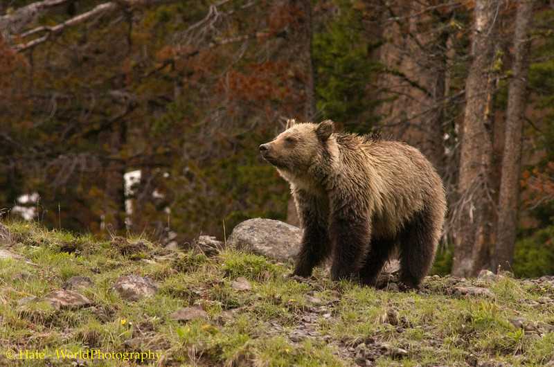 Grizzly Bear In The Afternoon Rain Atop Dunraven Pass, Yellowstone National Park