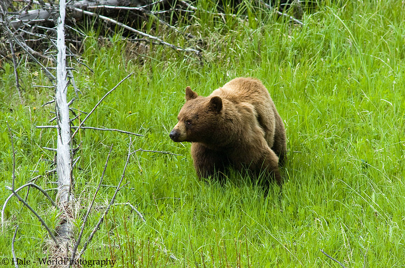 Black Bear Male Watching A Nearby Female Bear During Mating Season