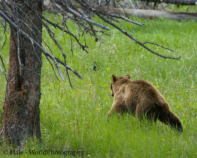 A Cinnamon Colored Black Bear Boar Moving Through Spring Grass, Yellowstone National Park