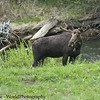 A Young Bull Moose, Alces alces, Near the East Entrance of Yellowstone National Park