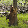 Cinnamon Colored Black Bear, Ursus americanus, Rubbing His Back On A Tree