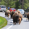 Bison traffic jam. Taking their time strolling down the road with their young. Along Gibbon River North of Madison Junction.