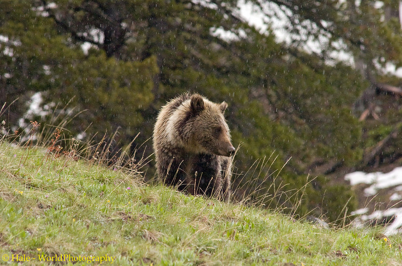 Hungry Grizzly Bear Searching Dunraven Pass Area For Food During A Rain Shower, Yellowstone National Park