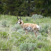 Antilocapra americana, Pronghorn Sheep or Pronghorn Antelope In The Lamar Valley