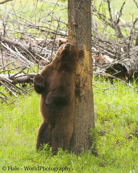 Cinnamon Colored Male Black Bear Seemingly Enjoying A Good Back Rubbing